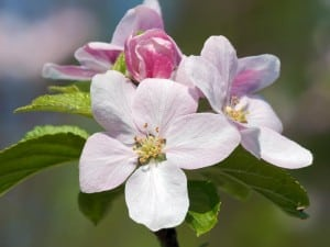 apple tree-blossom free wp